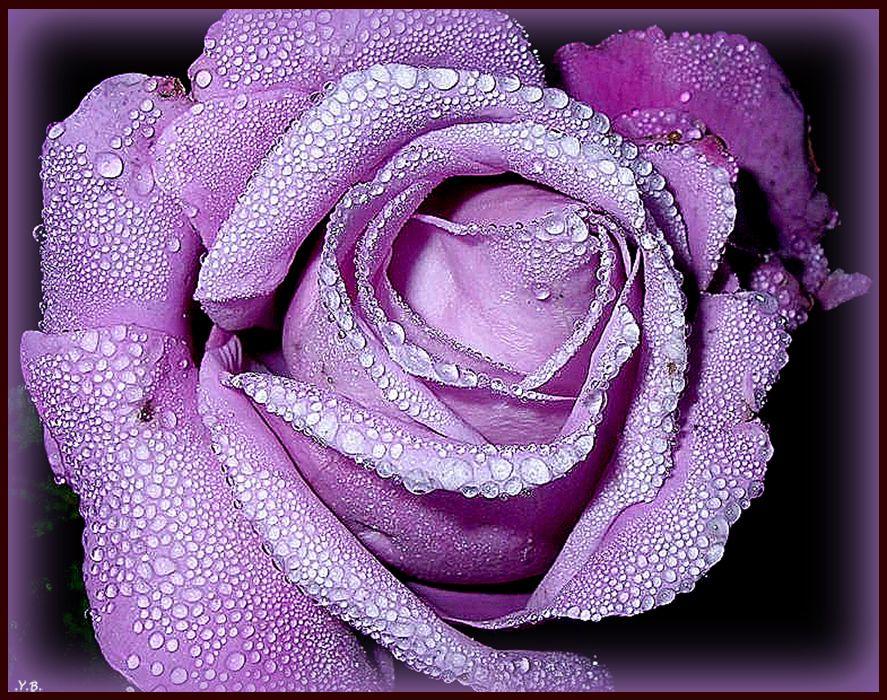 rosa violetta